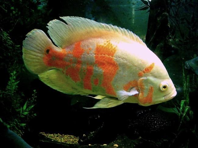 Тигровый астронотус в аквариуме.
