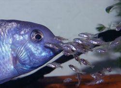 аквариумная рыбка голубой дельфин1