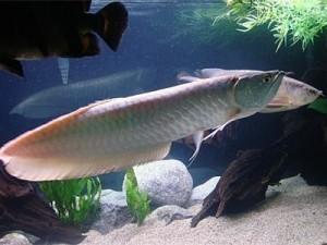 серебряная арована в общем аквариуме