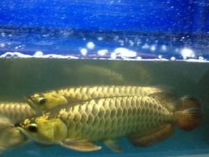 разведение арован в аквариуме