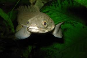 Полиптерус содержание в аквариуме