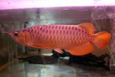 красная арована в аквариуме