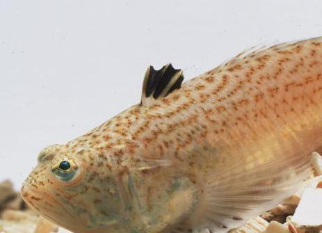 морской дракон рыба