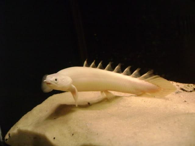 Полиптерус сенегальский — альбинос