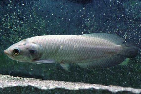 африканская арована в аквариуме