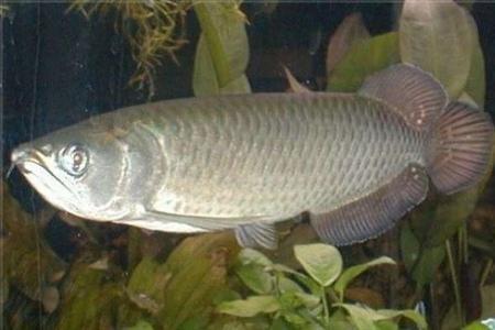 австралийская арована в аквариуме