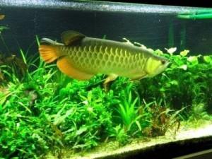 золотая арована в аквариуме с растениями