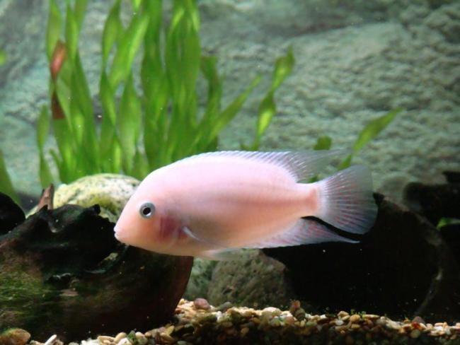 цихлида фламинго плавает в аквариуме