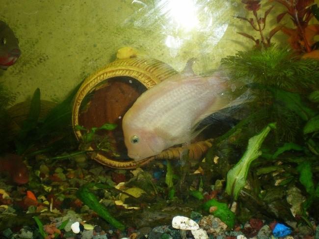 цихлида фламинго в аквариуме