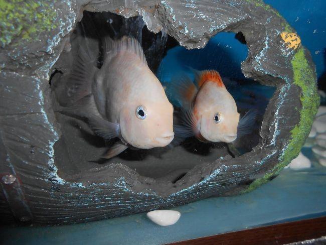 аквариумные рыбки фламинго