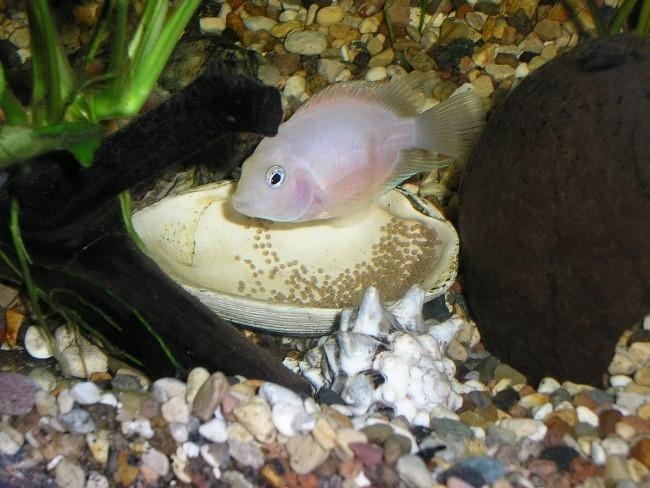 аквариумная рыбка фламинго