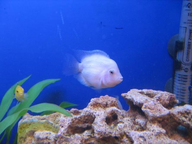 рыбка фламинго в аквариуме