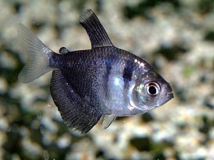 тернеция рыбка