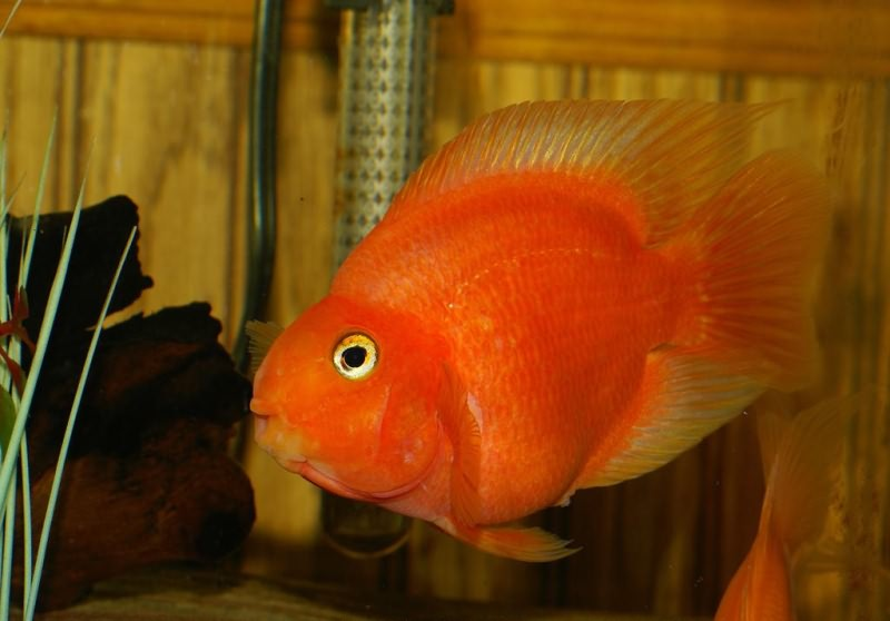 Красный попугай (рыба-попугай) (Red Blood Parrot Fish)