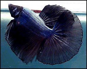 Чем кормить рыбу петушка