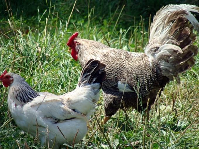как отличить петуха от курицы видео
