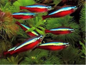 неоны в маленьком аквариуме