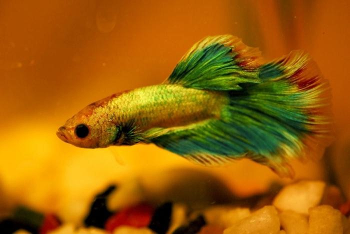 аквариумная рыбка петушок содержание