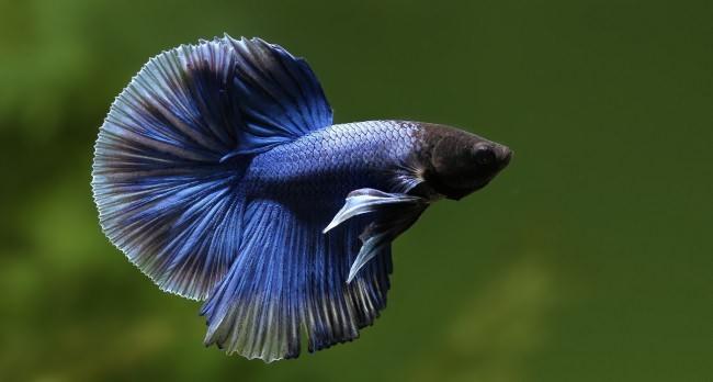 Бойцовский петушок черно-синего цвета.