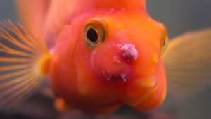 Содержание рыб-попугаев