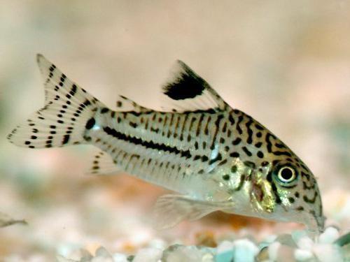сомик родина рыбки