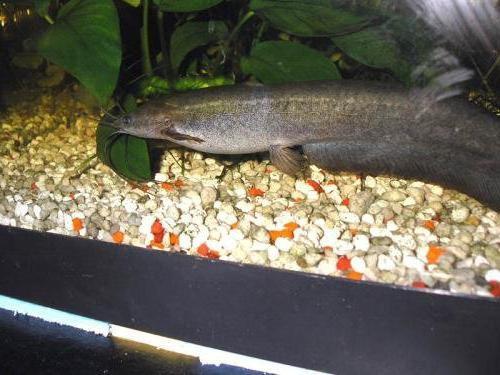 родина сомика аквариумного