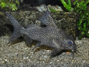 Аквариумные рыбки сомики: стекляшки, перевертыши, таракатум