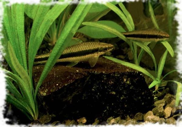 водорослеед рыбка