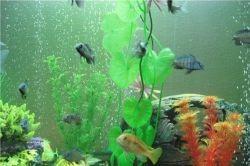 Водорослееды в аквариуме