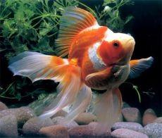 Рыбка вуалехвост