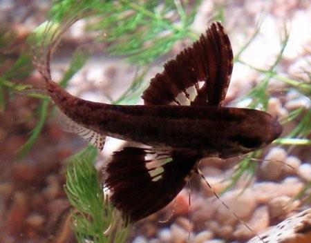 Пантодон - рыбка бабочка, фото-видео обзор