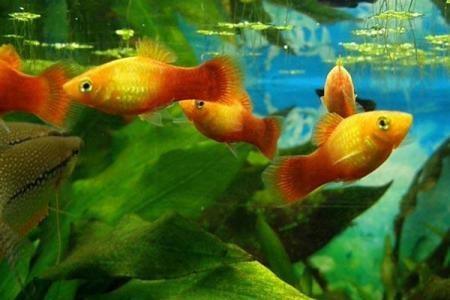 аквариумные рыбки пецилии
