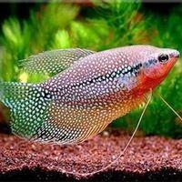 Аквариумные рыбки для начинающих7