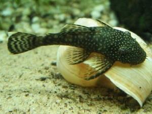 аквариумный сомик анцитрус