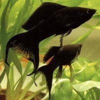 Аквариумные рыбки для начинающих5