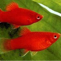 Аквариумные рыбки для начинающих6