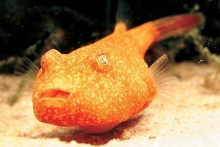 красноватый скалозуб в аквариуме