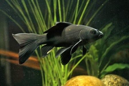 черная комета в аквариуме