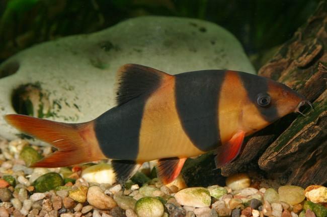 Рыбка боция клоун.