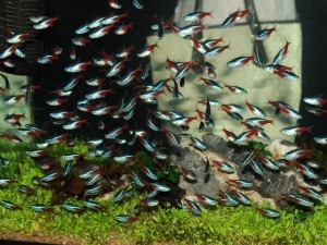 рыбки неоны уход и содержание