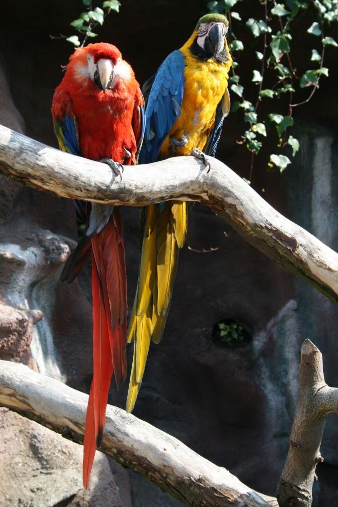 Как определить самку попугая
