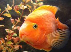 Аквариумная рыба попугай совместимость