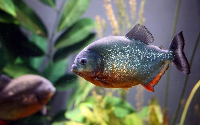 аквариумные рыбки виды