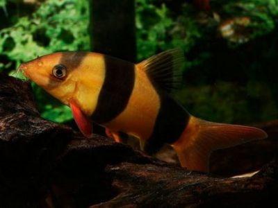 Самые красивые аквариумные рыбки2
