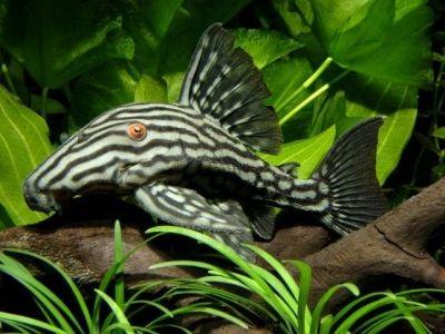 Самые красивые аквариумные рыбки5