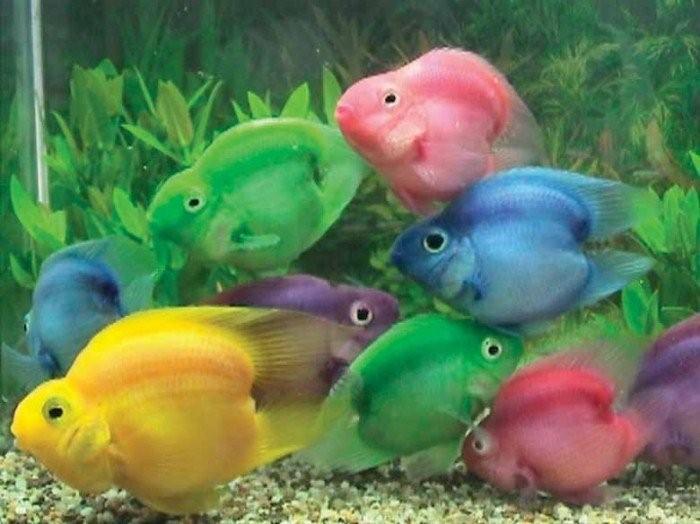 Самые красивые аквариумные рыбки6