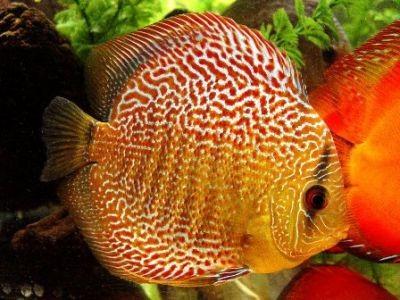 Самые красивые аквариумные рыбки8