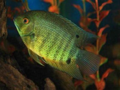 Самые красивые аквариумные рыбки9