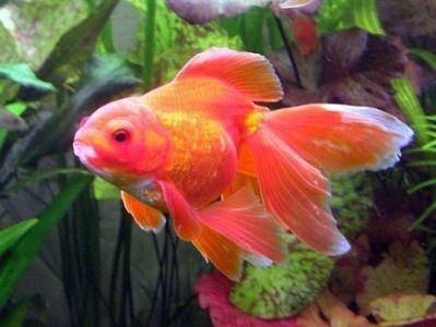 Самые красивые аквариумные рыбки10