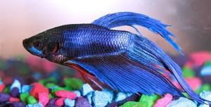 рыбка петушок